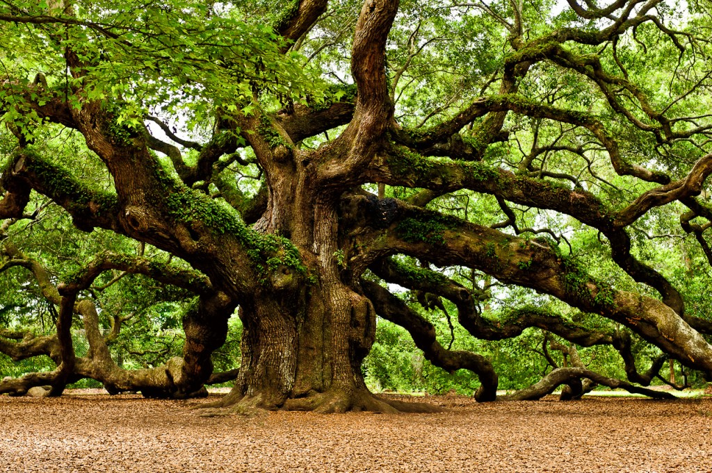 Oak-Tree2-1024x681